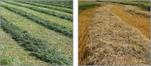 Grass forage crops